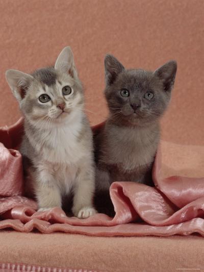 Domestic Cat, Blue Ticked Tabby and Burmese Kittens Under Pink Blanket, Bedroom-Jane Burton-Photographic Print