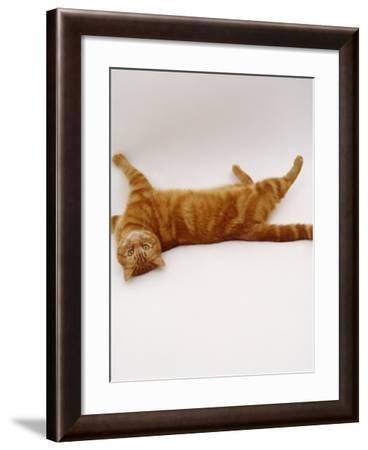 Domestic Cat, British Shorthair Red Tabby Female Rolling on Back-Jane Burton-Framed Photographic Print