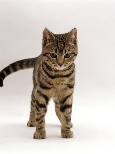 Domestic Cat, Brown Tabby Cat, Lashing Tail While Watching Something-Jane Burton-Photographic Print