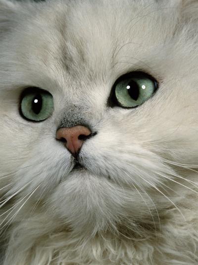 Domestic Cat, Chinchilla Persian Close up of Face-Jane Burton-Photographic Print