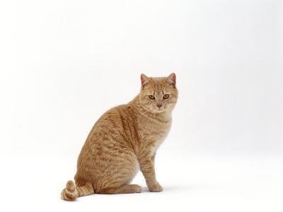 Domestic Cat, Cream British Shorthair Male Sitting-Jane Burton-Photographic Print
