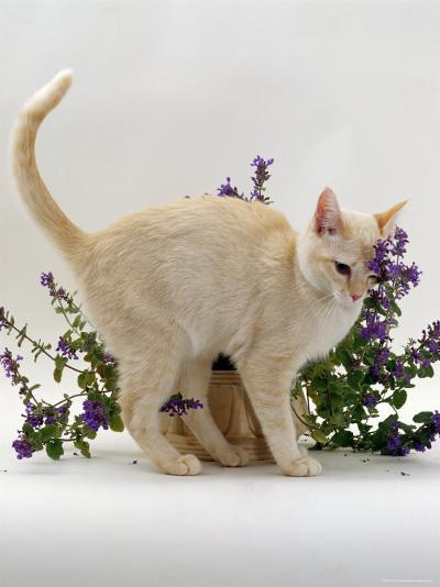 Domestic Cat, Cream Burmese Juvenile Rubbing Herself on Flowering Catmint / Catnip-Jane Burton-Photographic Print