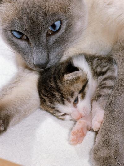 Domestic Cat, Cross Bred Tabby Kitten with Siamese Mother-Jane Burton-Photographic Print