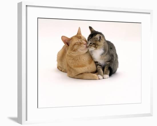 Domestic Cat Father, Red Male with His Agouti Tabby Male Kitten-Jane Burton-Framed Photographic Print