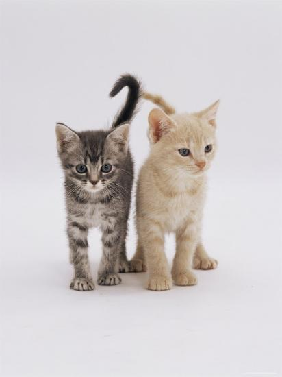 Domestic Cat (Felis Catus) 8-Week-Old Kittens-Jane Burton-Photographic Print