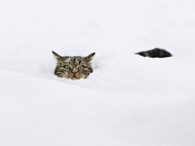 Domestic Cat (Felis Catus) in Deep Snow, Germany-Konrad Wothe-Photographic Print