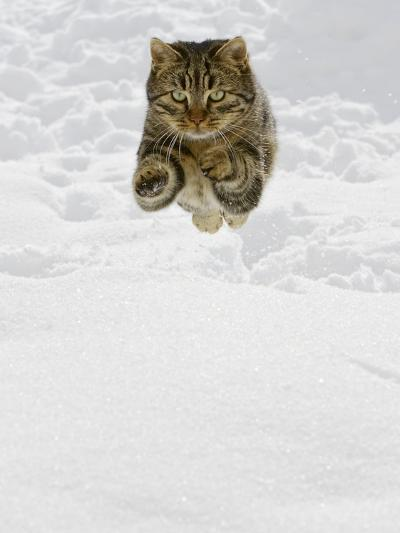Domestic Cat (Felis Catus) Male Jumping in Snow, Germany-Konrad Wothe-Photographic Print
