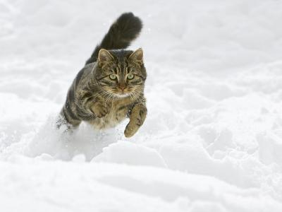 Domestic Cat (Felis Catus) Male Running in Snow, Germany-Konrad Wothe-Photographic Print