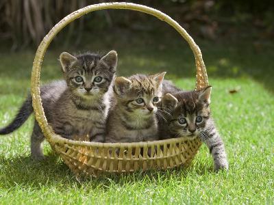 Domestic Cat (Felis Catus) Three Kittens in a Basket, Germany-Konrad Wothe-Photographic Print