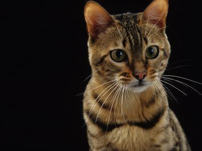 https://imgc.artprintimages.com/img/print/domestic-cat-female-brown-spotted-bengal_u-l-q10o1620.jpg?p=0