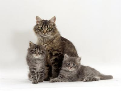 Domestic Cat, Fluffy Tabby with Her Two Kittens-Jane Burton-Photographic Print