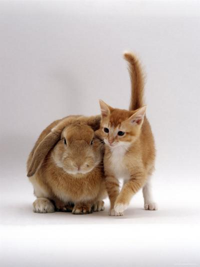 Domestic Cat, Ginger Female with Young Sandy Lop Eared Rabbit, Colour Coordinated-Jane Burton-Photographic Print