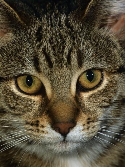 Domestic Cat, Head Portrait of Tabby-Jane Burton-Photographic Print