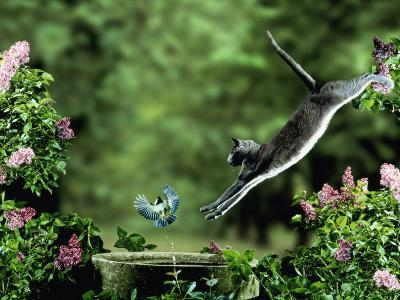 Domestic Cat Leaping at Coal Tit on Bird Bath-Jane Burton-Photographic Print
