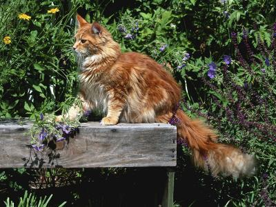 Domestic Cat, Maine Coon Breed, Maine, USA-Lynn M^ Stone-Photographic Print