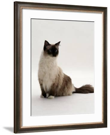 Domestic Cat, Mitted Seal-Point Ragdoll Male-Jane Burton-Framed Photographic Print