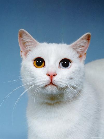 Domestic Cat, Odd-Eyed-Reinhard-Photographic Print