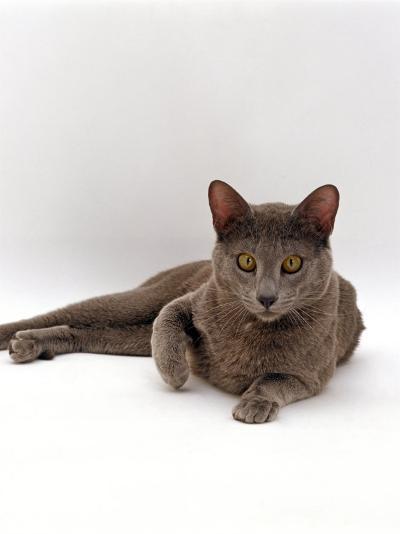 Domestic Cat, One-Year Blue Siamese Burmese Cross-Jane Burton-Photographic Print