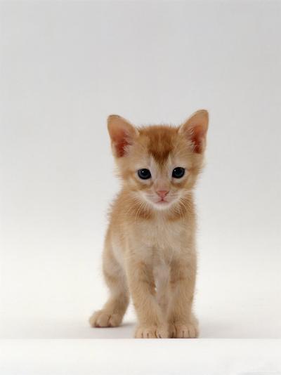 Domestic Cat, 'Pansy's' 5-Week Red Kitten-Jane Burton-Photographic Print