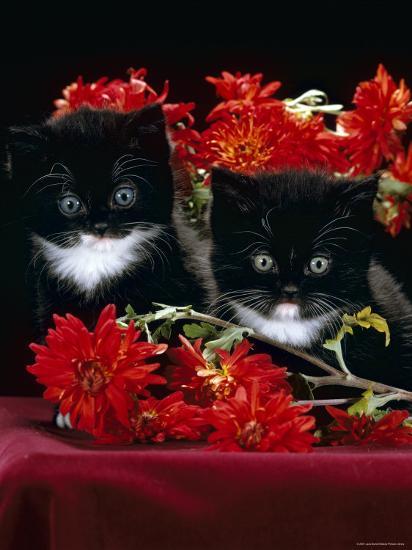 Domestic Cat, Persian-Cross Kittens with Chrysanthemums-Jane Burton-Photographic Print