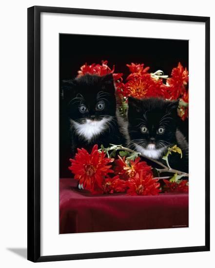 Domestic Cat, Persian-Cross Kittens with Chrysanthemums-Jane Burton-Framed Photographic Print