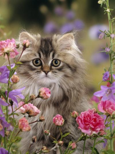 Domestic Cat, Portrait of Long Haired Tabby Persian Kitten Among Dwarf Roses and Bellflowers-Jane Burton-Photographic Print