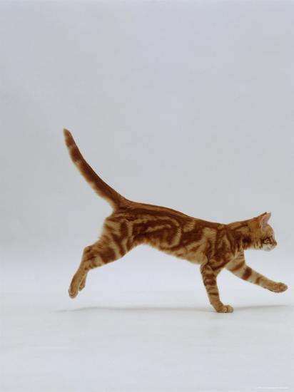 Domestic Cat, Red Tabby Kitten Running Profile-Jane Burton-Photographic Print