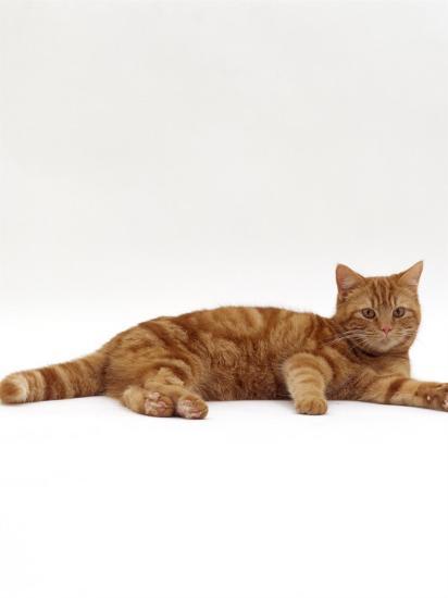 Domestic Cat, Red Tabby Male Lying Down-Jane Burton-Photographic Print