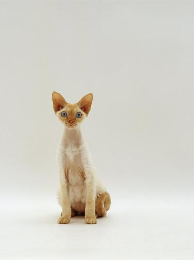 Domestic Cat, Rex Portrait-Jane Burton-Photographic Print