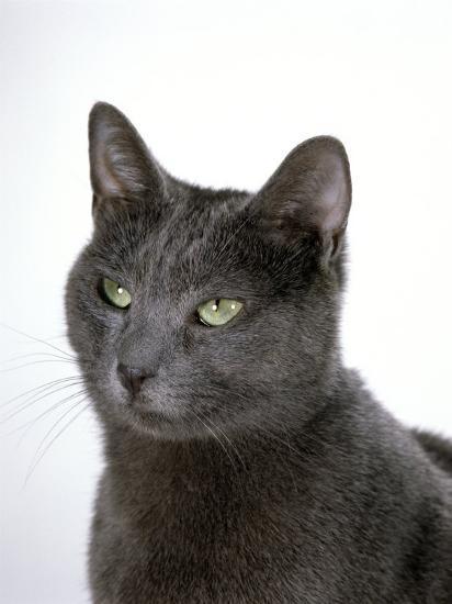 Domestic Cat, Russian Blue Female-Jane Burton-Photographic Print