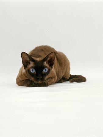 https://imgc.artprintimages.com/img/print/domestic-cat-seal-point-devon-si-rex-lying-on-floor_u-l-q10o1st0.jpg?p=0