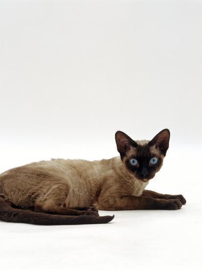 Domestic Cat, Seal-Point Devon Si-Rex-Jane Burton-Photographic Print