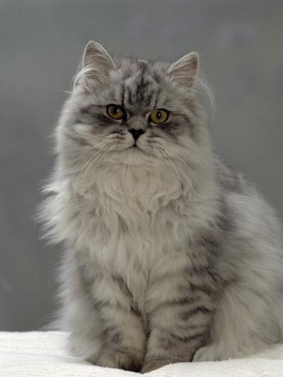 Domestic Cat, Silver Tabby Chinchilla-Cross-Persian in Full Coat-Jane Burton-Photographic Print