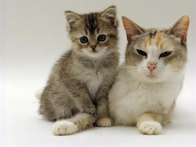Domestic Cat, Silver Tortoiseshell-And-White Mother with Her 8-Week Tabby Kitten-Jane Burton-Photographic Print