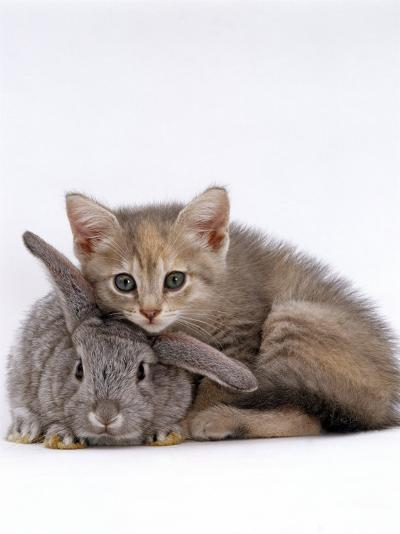 Domestic Cat, Silver Tortoiseshell Kitten with Silver Dwarf Lop Eared Rabbit-Jane Burton-Photographic Print