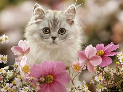 Domestic Cat, Silvertabby Kitten Among Michaelmas Dasies, Japanese Anemones and Cosmos Dasies-Jane Burton-Photographic Print