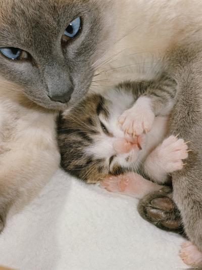 Domestic Cat, Stray Siamese Female with Single Kitten-Jane Burton-Photographic Print