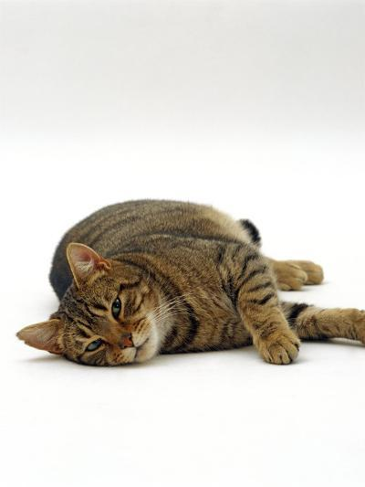 Domestic Cat, Striped Tabby Male Lying on Side-Jane Burton-Photographic Print