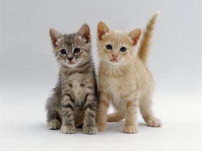Domestic Cat, Tabby and Cream Kittens-Jane Burton-Photographic Print