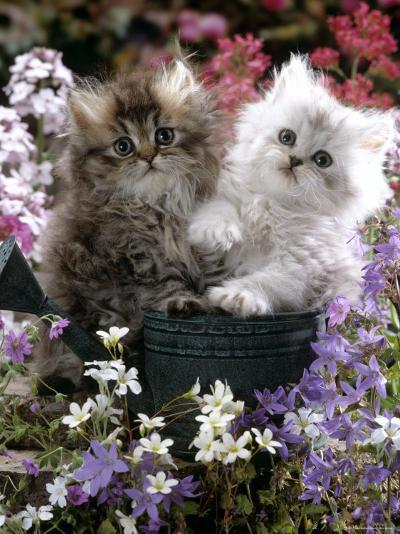 Domestic Cat, Tabby and Siver Chinchilla Persian Kittens, by Watering Can Among Bellflowers-Jane Burton-Photographic Print
