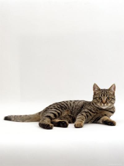 Domestic Cat, Tabby Chinchilla Burmese Cross-Jane Burton-Photographic Print