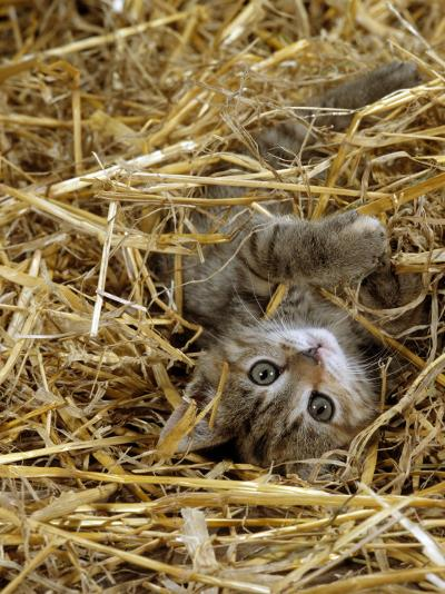 Domestic Cat, Tabby Farm Kitten Playing in Straw-Jane Burton-Photographic Print