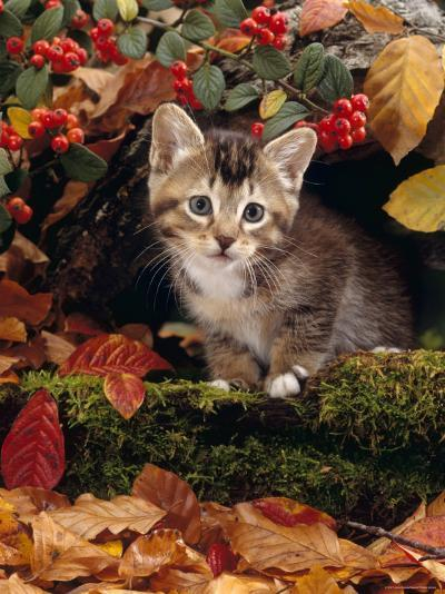 Domestic Cat, Tabby Kitten Among Autumn Leaves and Cottoneaster Berries-Jane Burton-Photographic Print