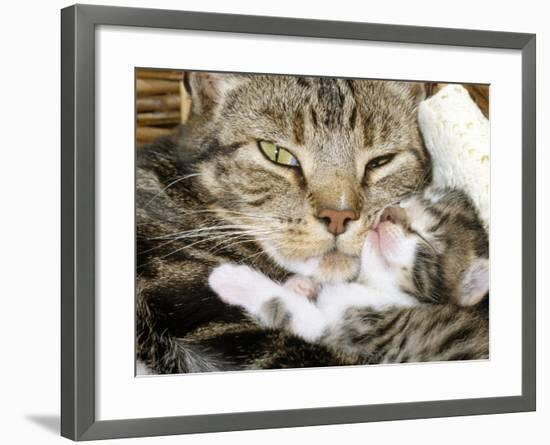 Domestic Cat, Tabby Mother and Her Sleeping 2-Week Kitten-Jane Burton-Framed Photographic Print