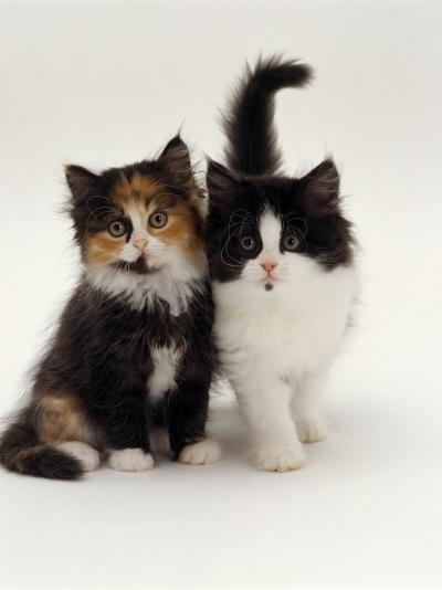 Domestic Cat, Tortoiseshell and Black-And-White Kittens-Jane Burton-Photographic Print