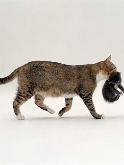 Domestic Cat, Tortoiseshell Mother Carrying / Moving Kitten-Jane Burton-Photographic Print