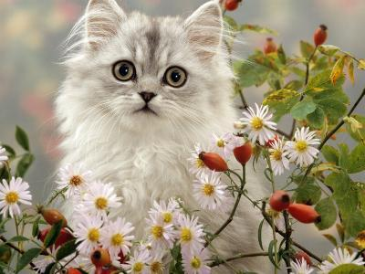 Domestic Cat, Turkish Van Kitten Among Michaelmas Dasies and Rose Hip-Jane Burton-Photographic Print