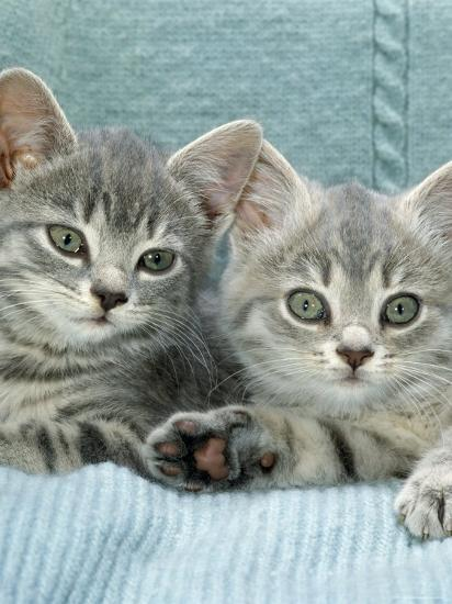 Domestic Cat, Two 8-Week Blue Tabby Kittens-Jane Burton-Photographic Print