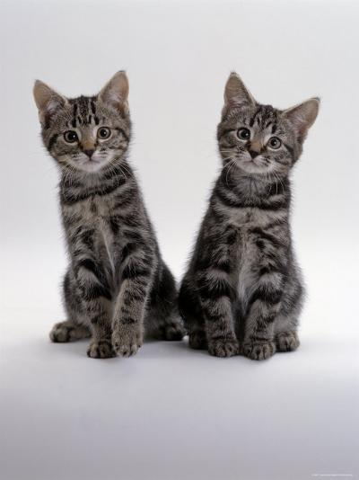Domestic Cat, Two 8-Week Tabby Kittens, Male and Female-Jane Burton-Photographic Print