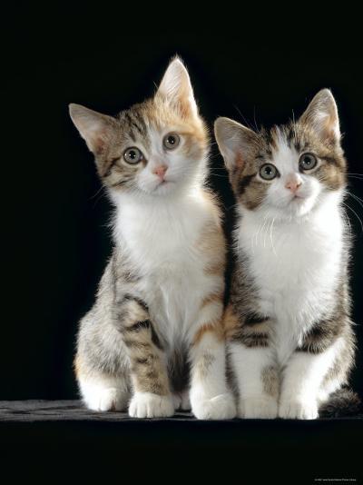 Domestic Cat, Two 8-Week Tabby Tortoiseshell and White Kittens-Jane Burton-Photographic Print